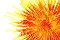 Free Macro Of Single Chrysanthemum Royalty Free Stock Photography - 6756897
