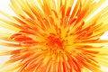 Free Yellow Chrysanthemum On White Stock Photo - 6756910