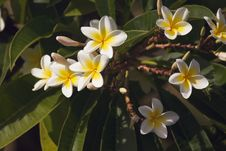 Free Yellow Plumeria Flowers Royalty Free Stock Photos - 6750018