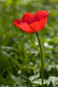 Free Red Tulip In The Field Royalty Free Stock Photos - 6750328