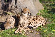 Free Cheetah Royalty Free Stock Images - 6751359