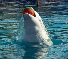 Free White Whale Royalty Free Stock Photo - 6751415