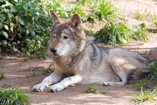 Resting Wolf Stock Images