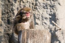 Free Japanese Macaque Royalty Free Stock Image - 6751436