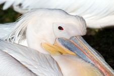 Free Pelican Stock Images - 6751444