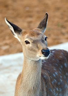 Free Spotty Deer Stock Photography - 6751452