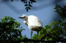 Free Egret Royalty Free Stock Photography - 6752367