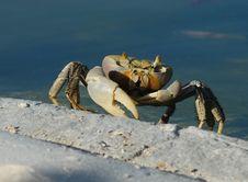 Free Cuban Ghost Crab Stock Photos - 6752603