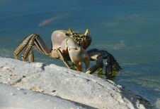 Free Cuban Ghost Crab Royalty Free Stock Images - 6752629