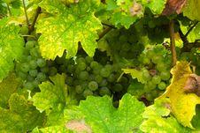 Free Grapes In Autumn Stock Photos - 6753213