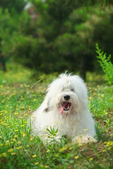 Free English Old Sheepdog Royalty Free Stock Photography - 6753217
