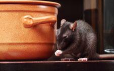 Free Rat In Kitchen Stock Image - 6753571