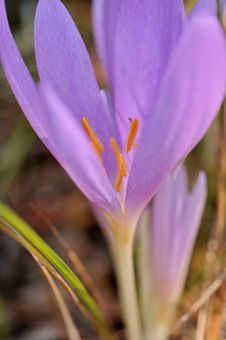 Free Violet Crocus Stock Photography - 6753592