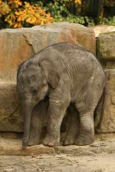 Free Baby Elephant Royalty Free Stock Photography - 6754347