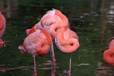 Free Pink Flamingos Stock Photos - 6754873