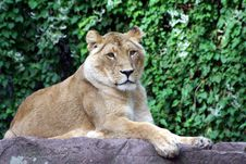 Free Lion Lady Royalty Free Stock Photo - 6755005