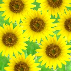Free Sunflowers Stock Photo - 6755190