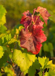 Free Background Of  Leaf Grapes Royalty Free Stock Photos - 6756128