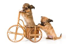 The Puppies Chihuahua On A Bicycle Royalty Free Stock Image