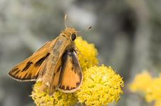 Free Skipper Butterfly Royalty Free Stock Image - 6756686
