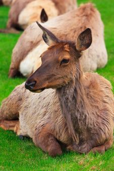 Free Elk On Grass Stock Photography - 6756792