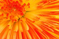Free Colored Chrysanthemum Stock Images - 6756834