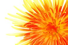 Free Macro Of Single Chrysanthemum Royalty Free Stock Photography - 6756897