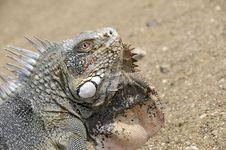 Free Portrait Of A Iguana Stock Photography - 6757132