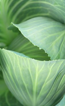Free Cabbage Stock Photography - 6757572