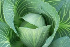 Free Cabbage Stock Photo - 6757640