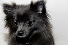 Free Pomeranian Stock Photos - 6758663