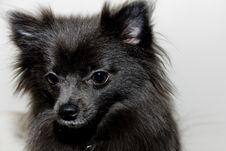 Free Pomeranian Stock Photos - 6758663