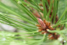 Water Drops On Pine Needles Stock Photo