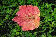Free Grape Leaf Royalty Free Stock Image - 6759876
