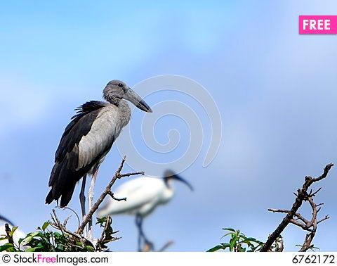 Free Open Bill Stork Stock Photography - 6762172
