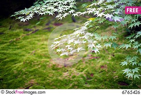 Free Japanese Maple Leaves Royalty Free Stock Image - 6765426