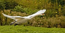 Free Mute Swan In Flight Stock Photo - 6761000