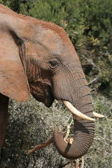 Free African Elephant Eating Stock Photo - 6761600