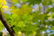 Free Spring Leaves Royalty Free Stock Photography - 6761687