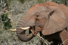Free African Elephant Eating Stock Photos - 6761743