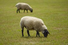 Sheep On A Meadow Royalty Free Stock Photo