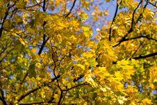 Yellow Maple Stock Image