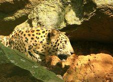 Free Leopard Royalty Free Stock Photos - 6762098