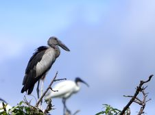 Free Open Bill Stork Stock Photography - 6762172