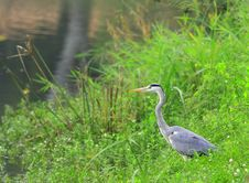 Free Grey Heron Royalty Free Stock Photo - 6762235