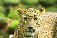 Free Leopard Stock Photo - 6762250