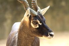 Free Blackbuck Stock Images - 6762314