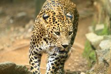 Free Leopard Stock Photography - 6762322