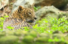Free Leopard Stock Photography - 6762332