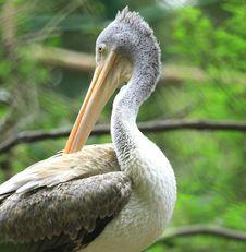 Free Pelican Royalty Free Stock Photos - 6762348